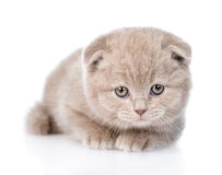 Tiny scottish kitten lying in front  on white background Royalty Free Stock Images