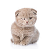 Tiny scottish kitten standing in front. isolated on white Stock Photo