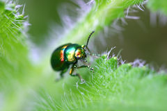 Tiny shiny beetle. Small beetle scurrying around in the garden Royalty Free Stock Images