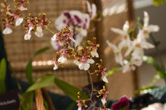 Tiny showy rare white and pink orchids. With many flowers on a stem stock image