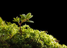 Tiny shrub of cowberry Royalty Free Stock Photography