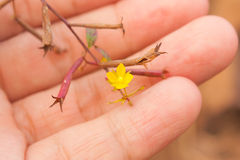 Tiny size of Water Primrose flower in a hand Stock Photo