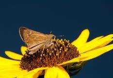 Tiny skipper butterfly Royalty Free Stock Photos