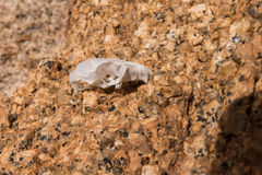 Tiny Skull. Bone from mouse or other small mammal stock photography