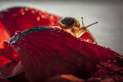 Tiny snail. On red flower with narrow DOF stock photography