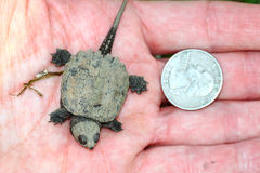 Tiny Snapping Turtle Stock Photos