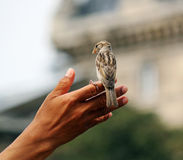 Tiny soft fragile bird perched on mans hand Royalty Free Stock Images