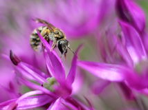 Tiny Solitary Bee on Allium Flowers Royalty Free Stock Images