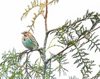 Tiny song sparrow sitting on a tree branch royalty free stock image