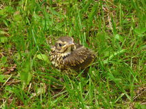 Tiny song thrush in the grass Stock Photo