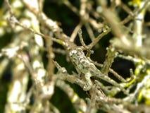 Tiny Southern Dwarf Chameleon Stock Photos