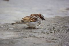 A tiny sparrow looking for food. A sparrow bird looking for some food standing at the ground stock image