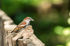 Tiny Sparrows Stock Image