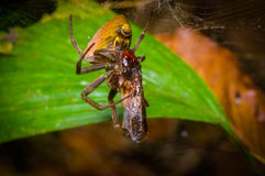A tiny spider with a bug wrapped with a spider web found in the Amazon jungle region of Cuyabeno National Park, in Stock Images