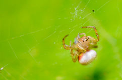 Tiny Spider hanging on it's web. Against a Green Background Royalty Free Stock Image