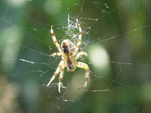 Tiny spider in the middle of cobweb. Spider in the middle of the damaged cobwebs waiting for victim stock image