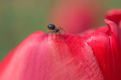 Tiny spider on tulip petal Royalty Free Stock Photos