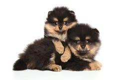 Tiny Spitz dog puppies on a white background stock photos