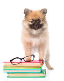 Tiny spitz puppy with glasses and pile books on white Stock Photo