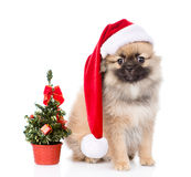Tiny spitz puppy with santa hat and christmas tree. isolated Stock Photos