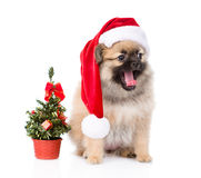 Tiny spitz puppy with santa hat and christmas tree.  Royalty Free Stock Photos