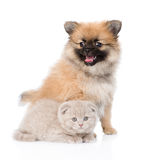Tiny spitz puppy sitting with scottish kitten together. isolated Royalty Free Stock Images