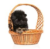 Tiny Spitz puppy in wicker basket stock photography
