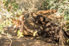 Tiny Spotted hyena pup with mother. Royalty Free Stock Images