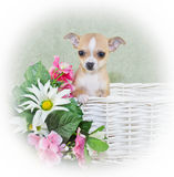 Tiny Spring Chahwahwa Puppy Royalty Free Stock Photography