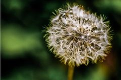 Tiny Spring Dandelion Royalty Free Stock Images