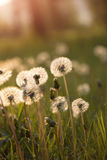 Tiny Spring dandelions bathing in the sun Royalty Free Stock Photos