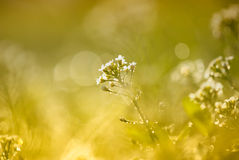 Tiny Spring flower and morning dew Stock Photography