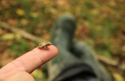 Tiny Spring Peeper Frog Sitting on Man`s Fingertip. A tiny spring peeper frog sits patiently on a man`s fingertip while out in the woods Stock Image