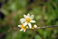 Tiny Spring Time Flower. A tiny, white, spring time flower against a green background of pasture grass Stock Image