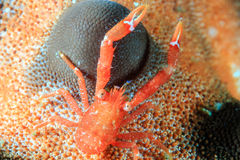 Tiny Squat Lobster Stock Photo