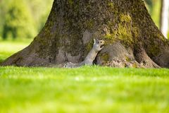 Tiny squirrel hiding behind the tree royalty free stock images