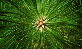 Tiny star at the fir. Branch of spruce in the forest green/ fir/ nature/ star Stock Photo