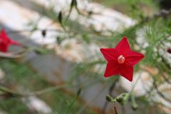 Tiny star flower power Stock Photography