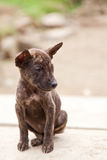 Tiny stray dog in Indonesia Stock Images