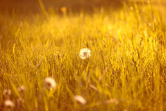 Tiny summer dandelion stock image