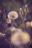 Tiny summer dandelion Royalty Free Stock Image