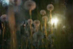 Tiny summer dandelionss Stock Photo