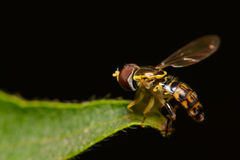 Tiny Syrphid Hover Fly. A side view of a small Syrphid Hoverfly against a black background Royalty Free Stock Photos