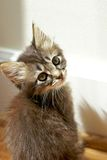 Tiny tabby kitten gazing at camera Stock Image