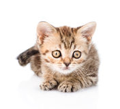Tiny tabby kitten lying in front. isolated on white background Stock Photography