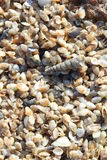 Tiny telline shells on the Sea Beach Stock Photos