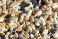 Tiny telline shells on the Sea Beach Stock Photography