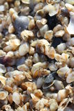 Tiny telline shells on the Sea Beach Stock Photo