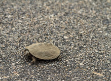 Tiny Terrapin Stock Images
