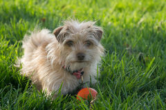 Tiny Terrier. Terrier is ready to play ball and waiting patiently Royalty Free Stock Photography